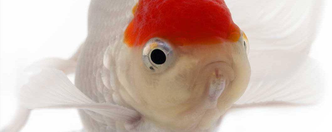 【赤・白・黒・青・茶】金魚の色がどうやって出来るのか調べてみた