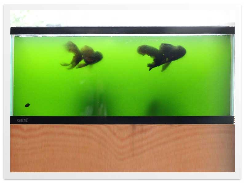 60cmLOW水槽 黒オランダ