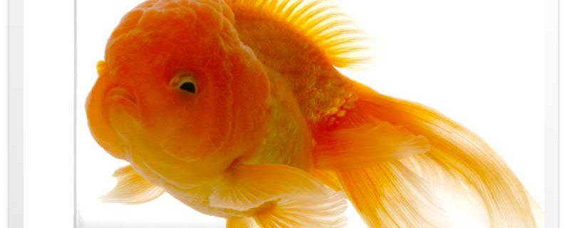 【金魚成長物語】素赤バルーンオランダ kinchan