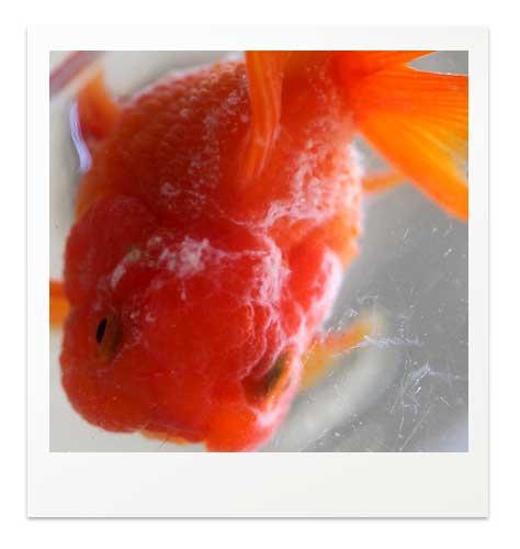 金魚の真菌感染症