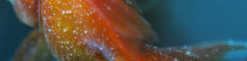 金魚の白点病 末期