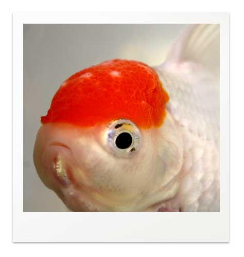 金魚の丹頂の頭に白いもの