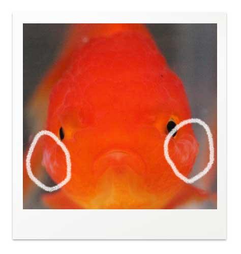 金魚の肉瘤に白いもの バルーンオランダ 正面