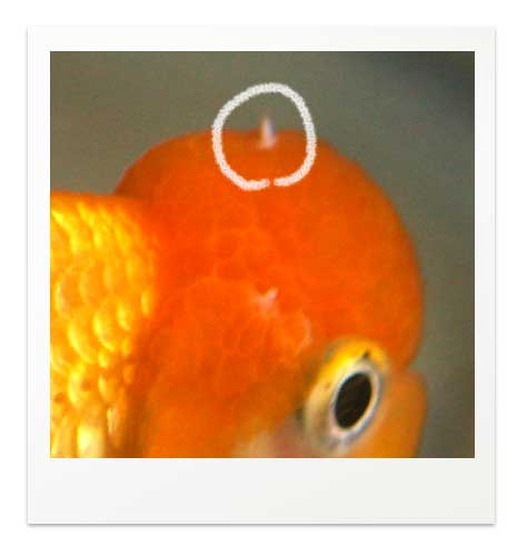 金魚の肉瘤のニキビ
