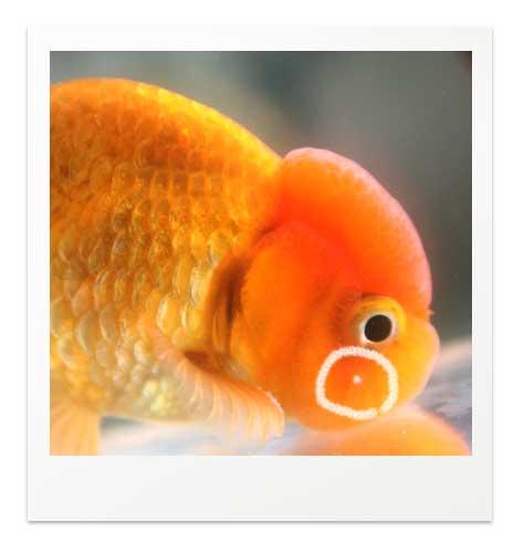 金魚のニキビ