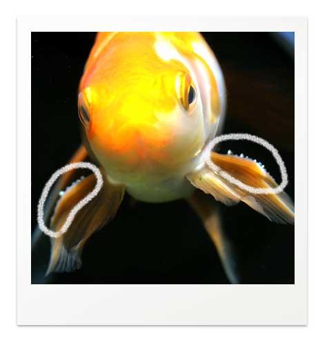 激しい追星の例 長手金魚
