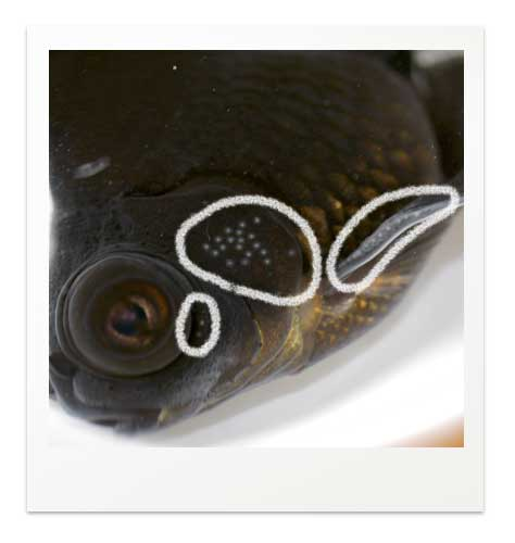 金魚の追星 エラ蓋の例