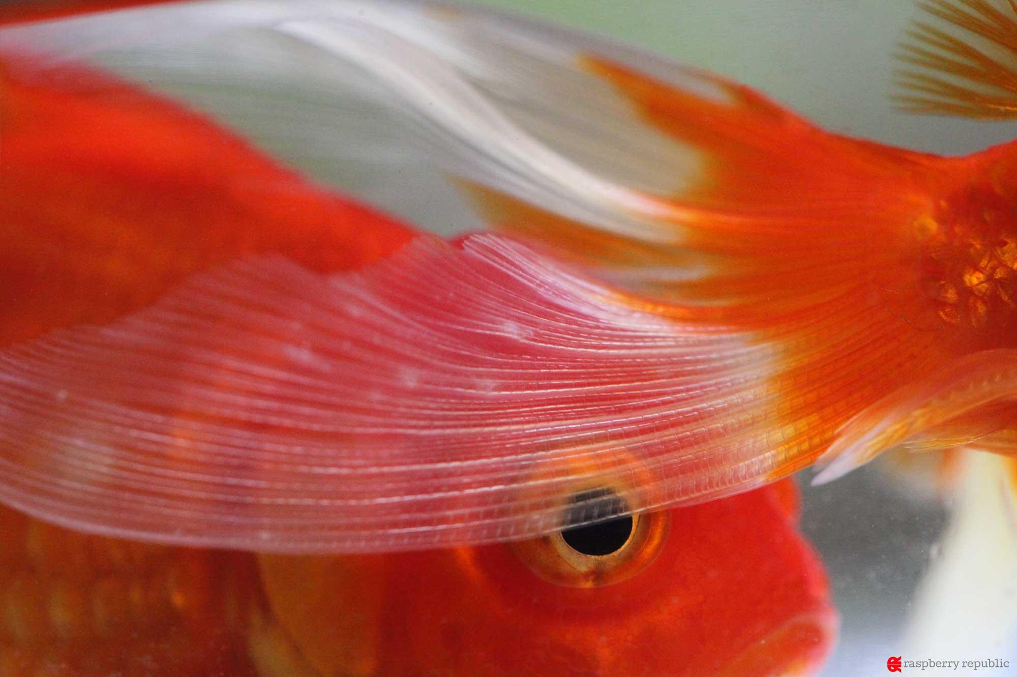 金魚の尾腐れ軽症
