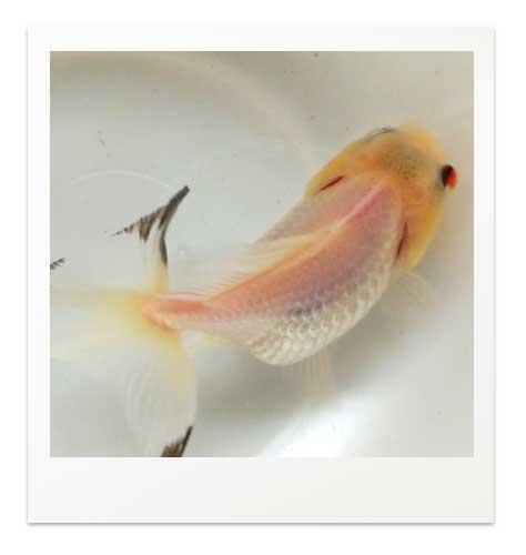 グアニン少なめの青文魚