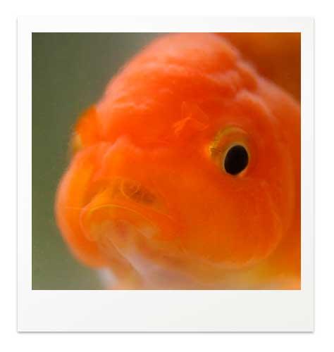 金魚が餌を食べてる時の顔
