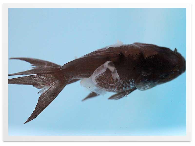 死にかけている青文魚