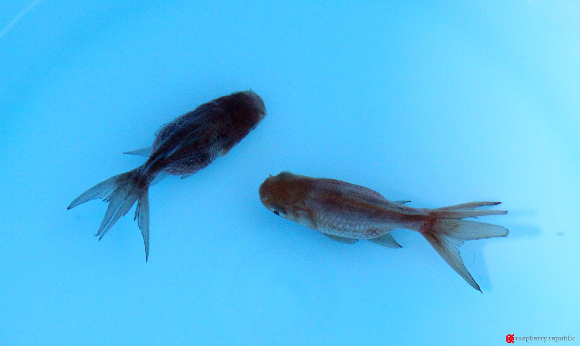 ダメージがある金魚