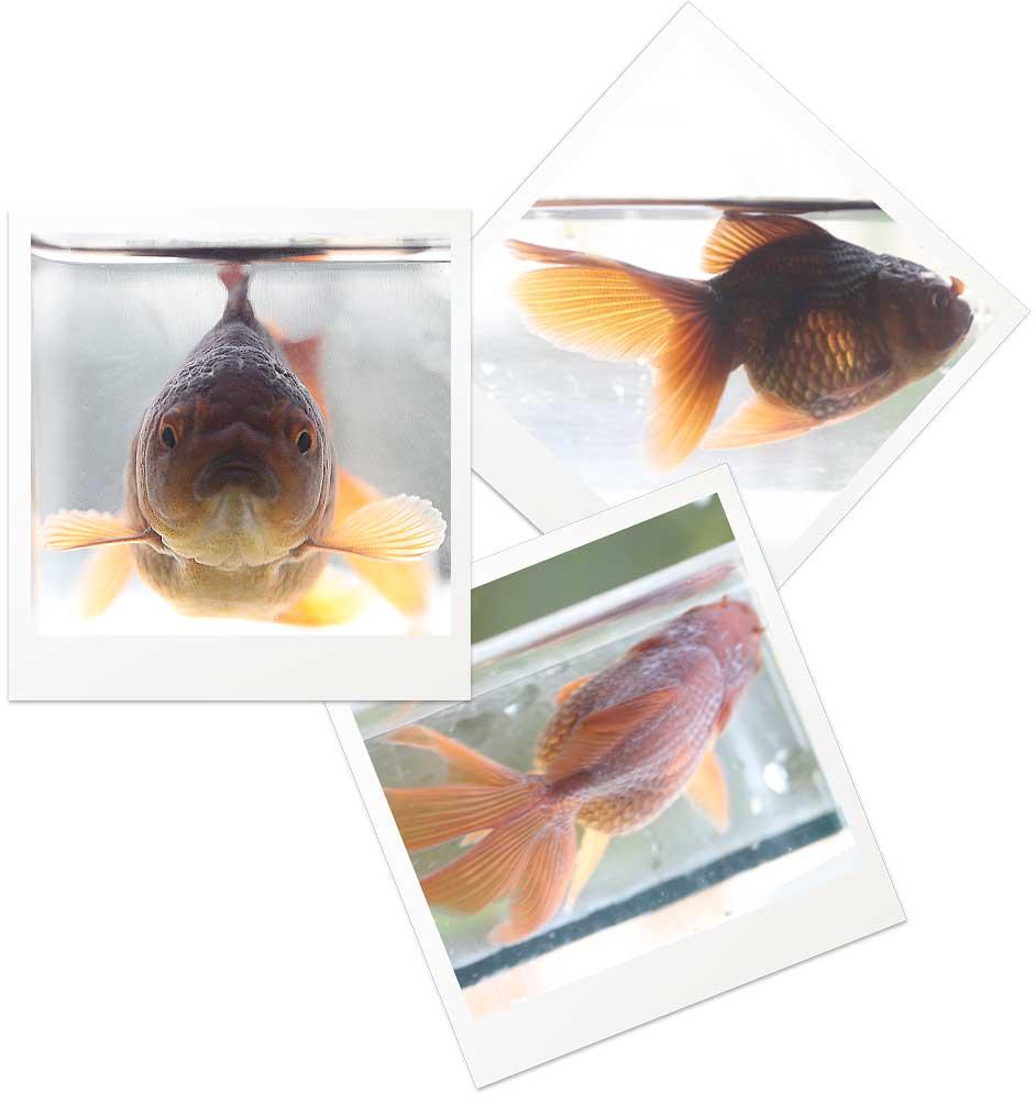 金魚飼育 稚魚