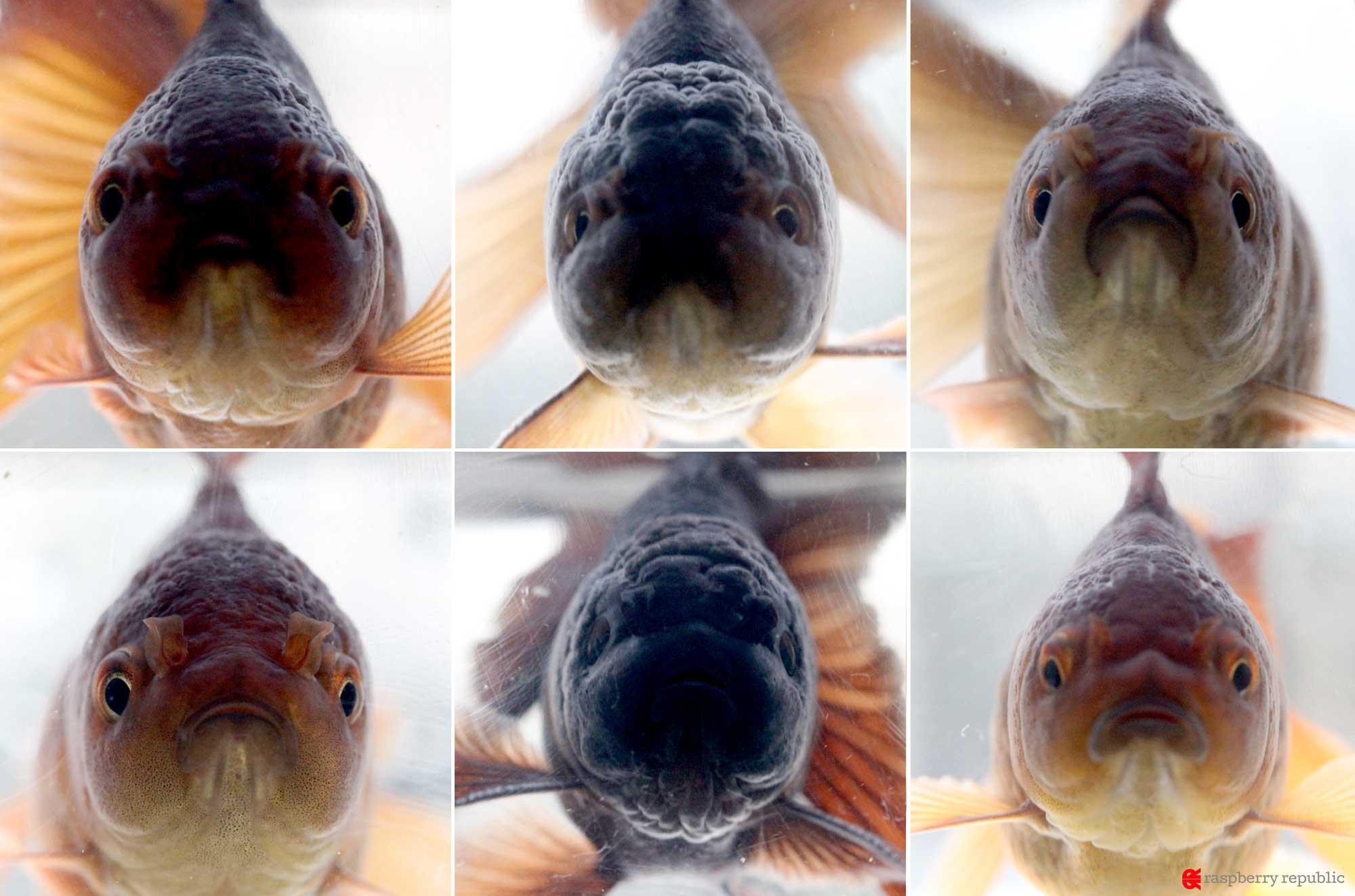 金魚の正面顔