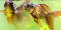 ラクイラク稚魚飼育 金魚の顔
