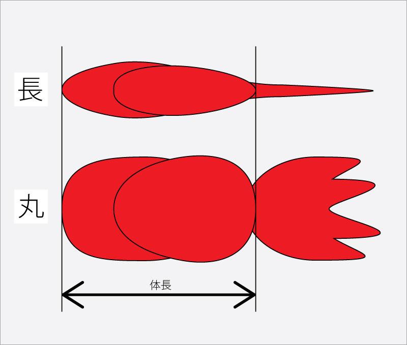 金魚の体格