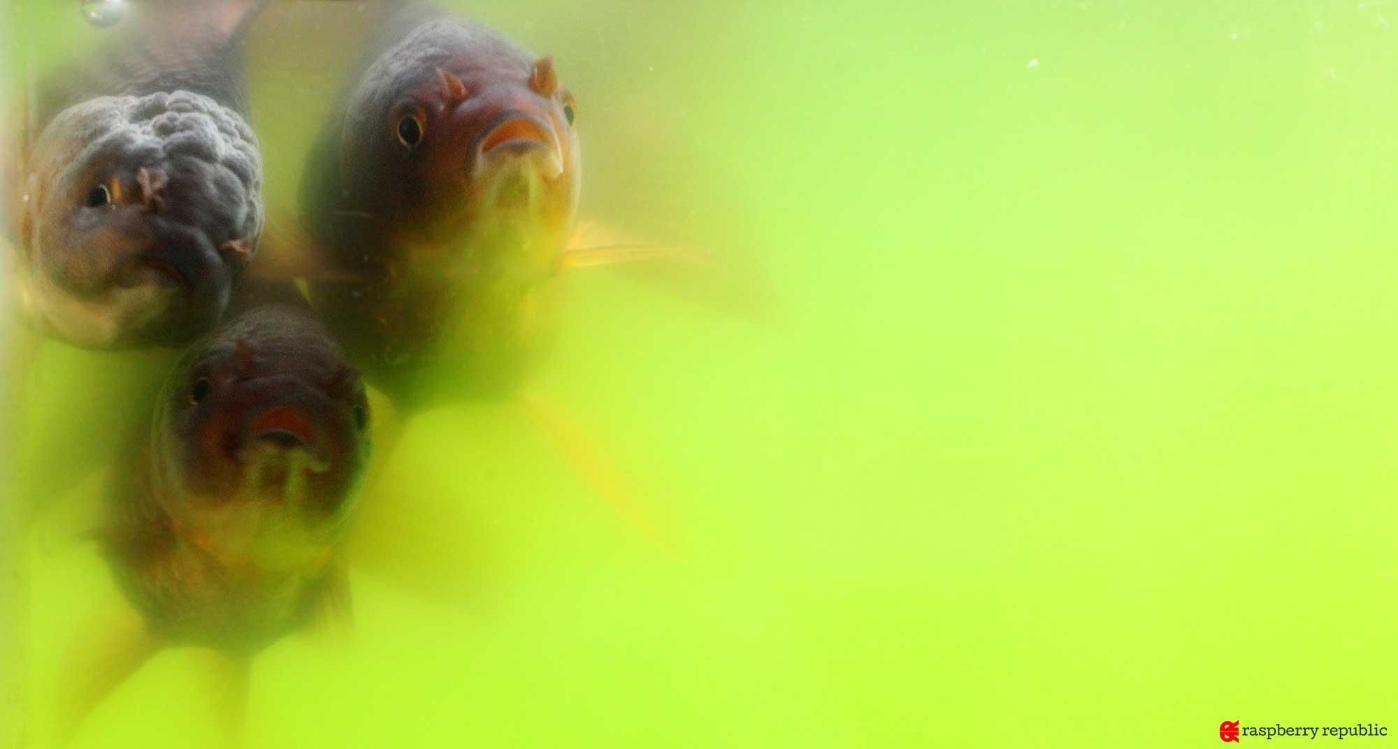 青水にすむ3匹の金魚怪獣