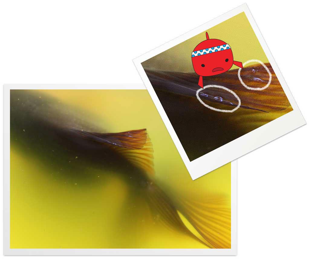 金魚のガス病