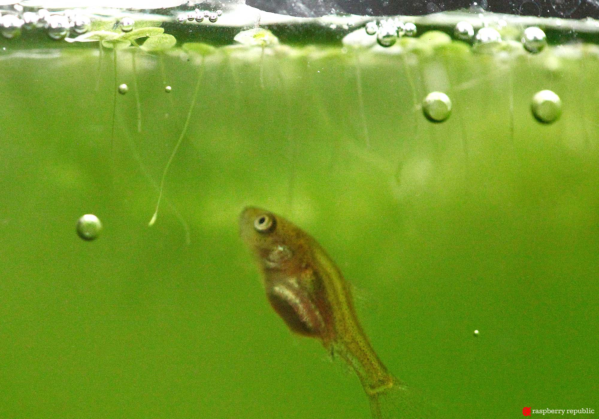金魚稚魚飼育 バルーンオランダ