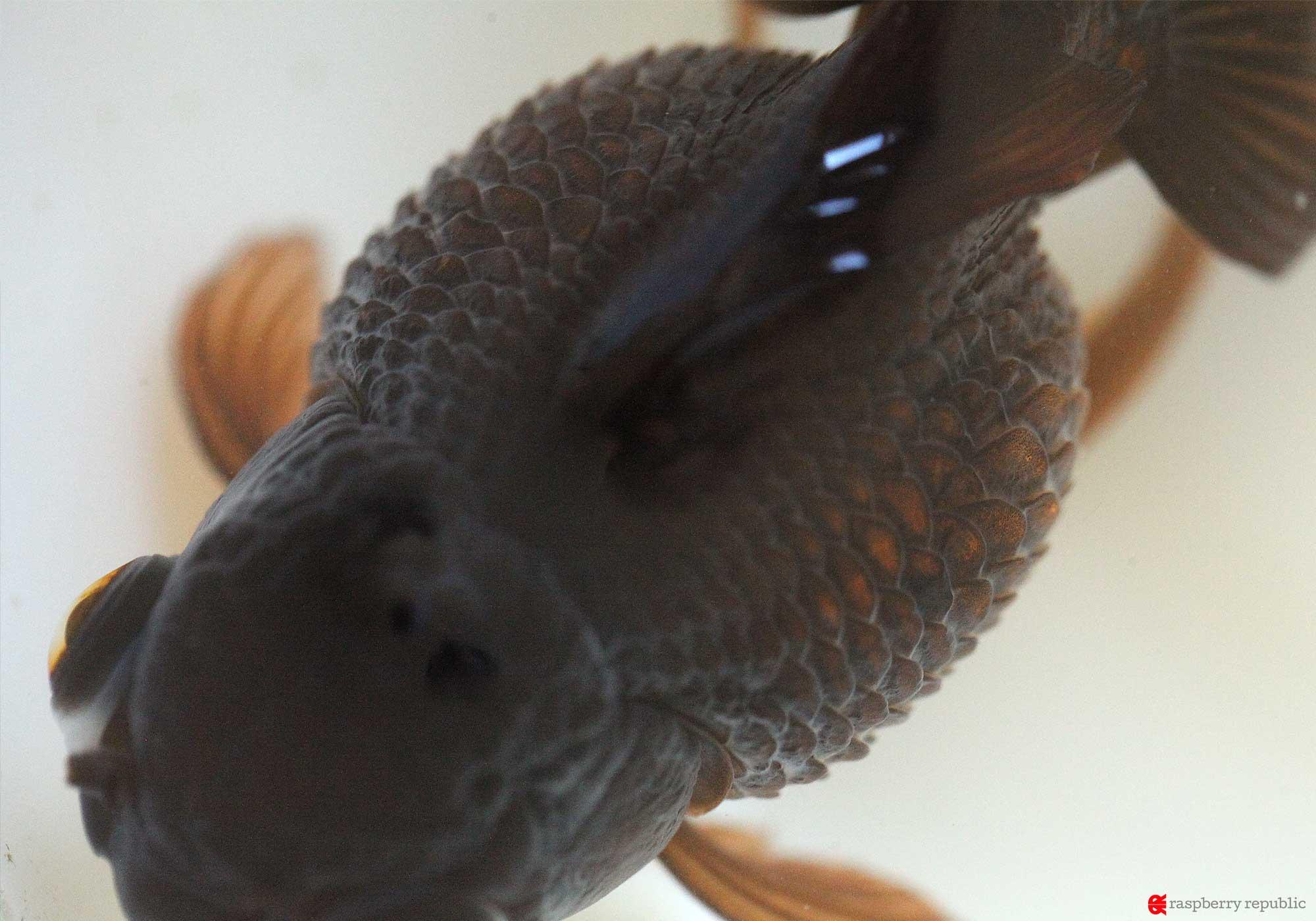 金魚のブロート