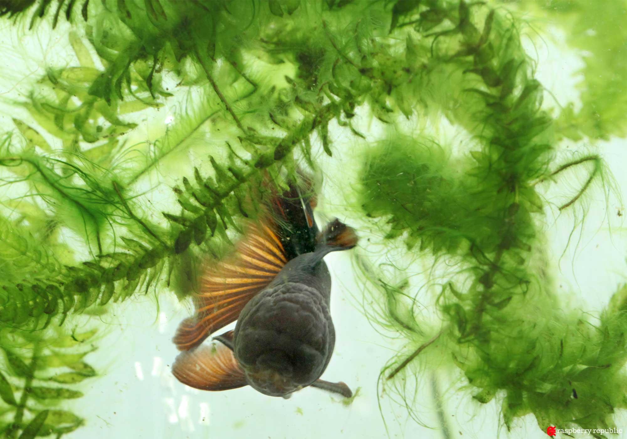 金魚水槽に繁殖した藻