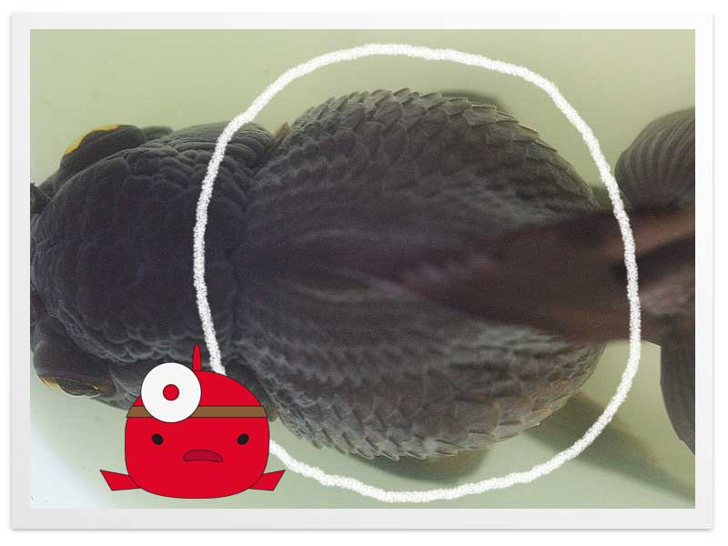 ブロートの金魚